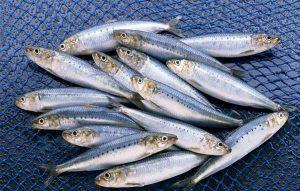 صید ماهی ساردین (حشینه) توسط شهروند سیرافی/فیلم