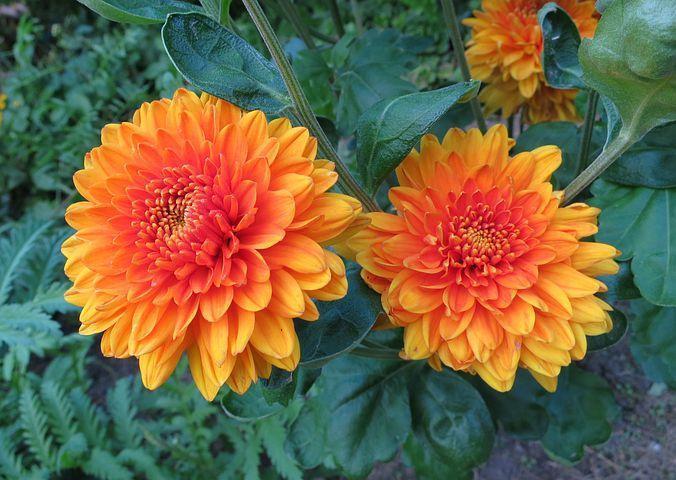 تصویر از عکس های زیبا از گل های کوکب زرد و بنفش، سفید و صورتی، قرمز و کوهی