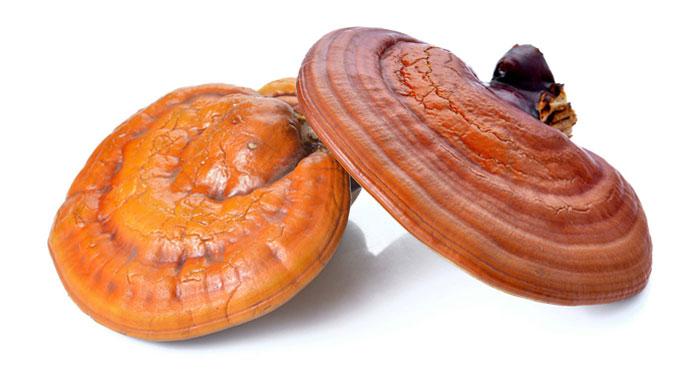 کشت و پرورش قارچ گانودرما