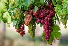 تصویر از طبع انگور؛ میوه بهشتی و انواع آن