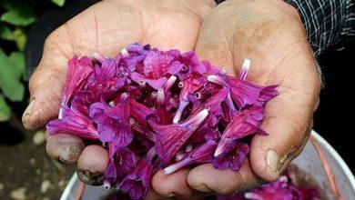 خواص گل گاوزبان چیست؟