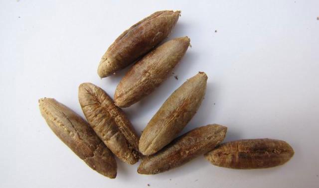 آشنایی با ۱۰ مورد از خواص هسته خرما؛ از دفع سنگ کلیه تا درمان دیابت