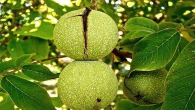 تصویر از آشنایی با خواص برگ درخت گردو برای سلامتی