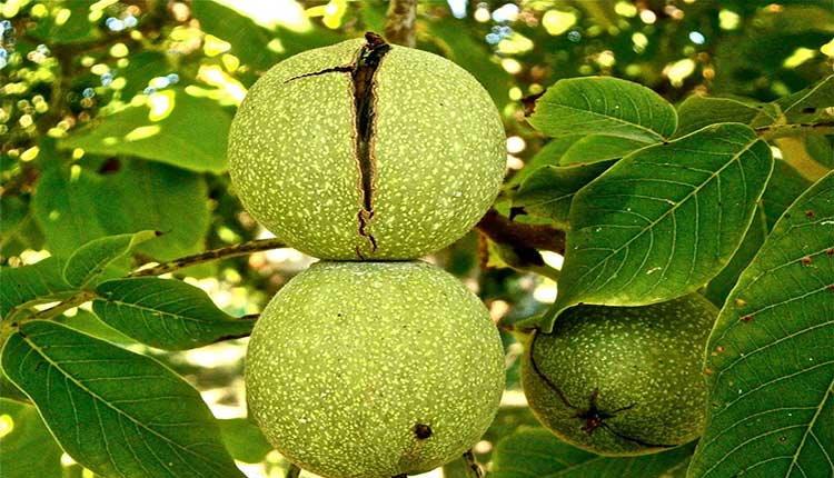 یکی دیگر از تاثیرات مفید و خواص برگ درخت گردو دفع حشرات است