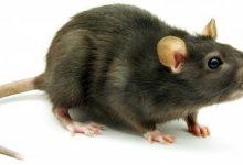تعبیر خواب موش dream-interpretation-rat