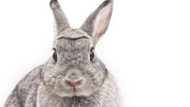 تصویر از تعبیر دیدن خرگوش در خواب چیست؟ اگر خرگوش در خواب ببینیم چه معنی دارد؟