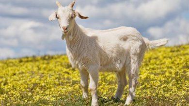 بز goat