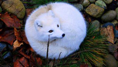 تصویر از تعبیر خواب روباه | دیدن روباه قرمز در خانه چه تعبیری دارد؟
