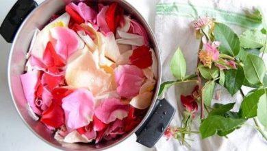 گل محمدی برای گلاب گیری
